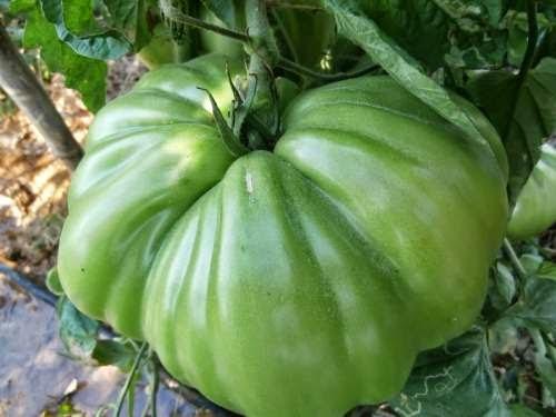tomata_gigas.jpg