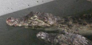 eihe_gia_katoikidia_pano_apo_150_krokodeiloys.jpg