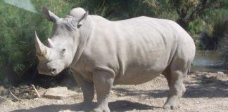 rhinoceros_blanc_jhe.jpg