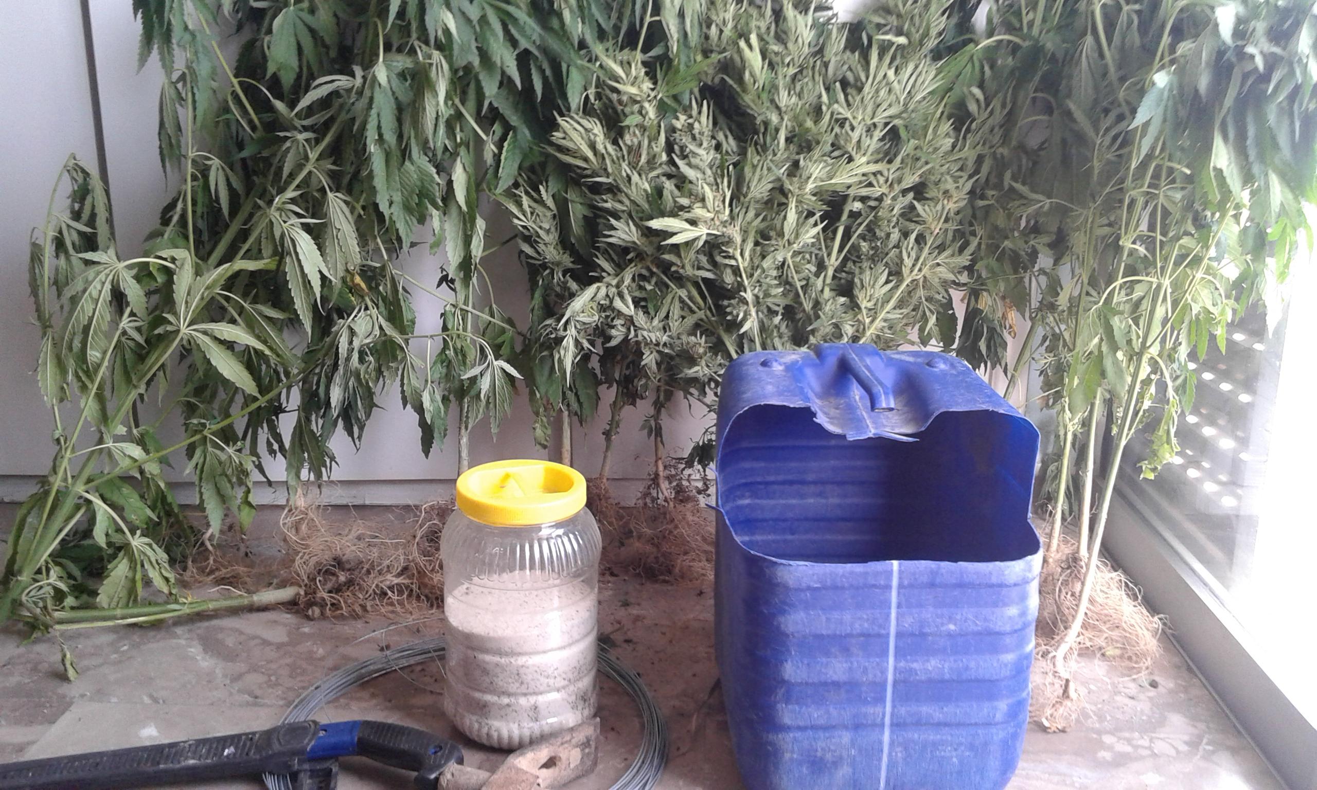 Κυλλήνη: Μέσα σε... θάμνους καλλιεργούσε 35 δενδρύλια κάνναβης - Συνελλήφθη 46χρονος την ώρα που τα πότιζε! (Photos)