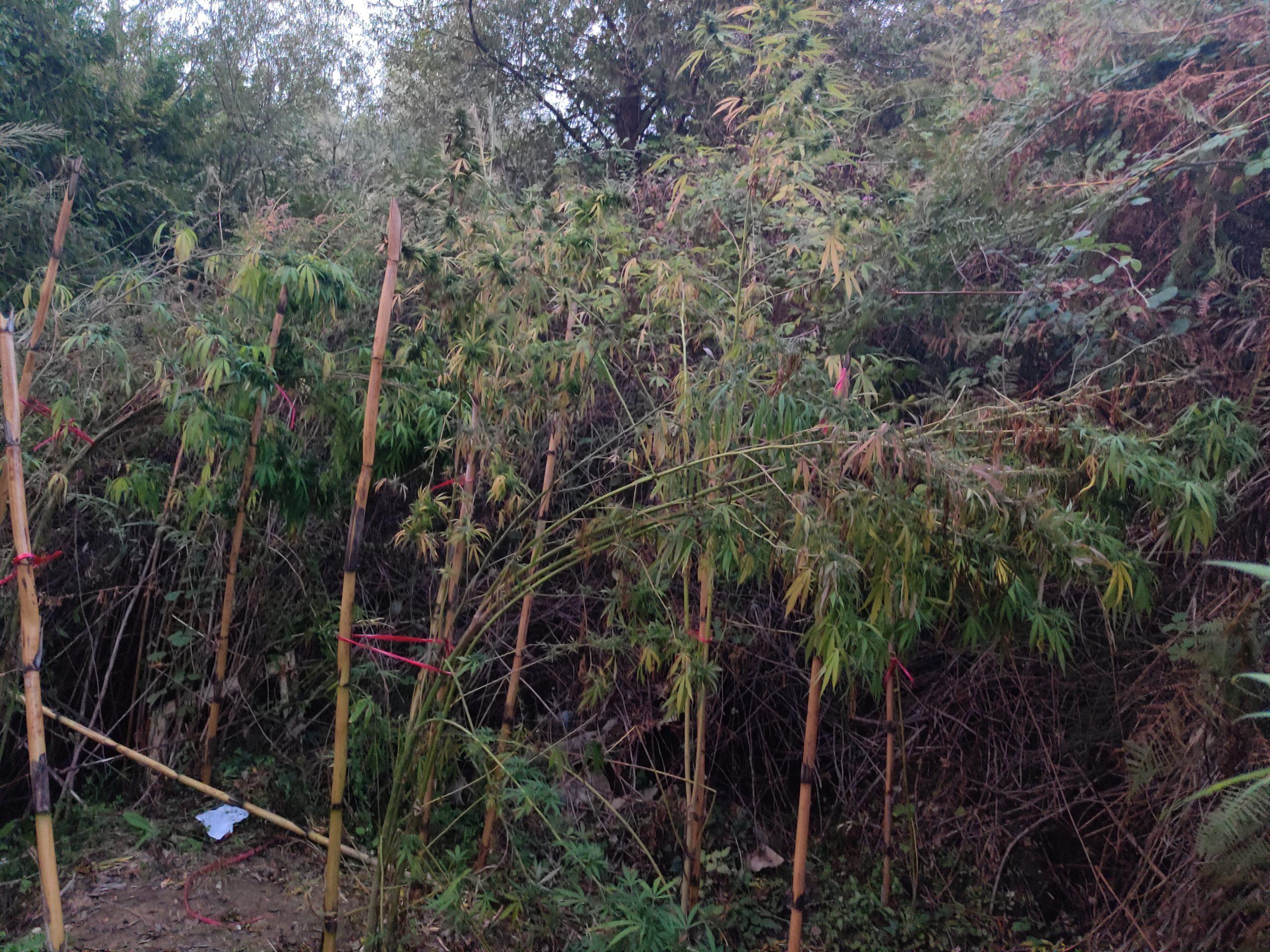 Πύργος: Σύλληψη άνδρα σε χωριό της περιοχής- Καλλιεργούσε 53 δενδρύλλια κάνναβης - Κατασχέθηκαν και 1.200 γραμμάρια κάνναβης (photos)
