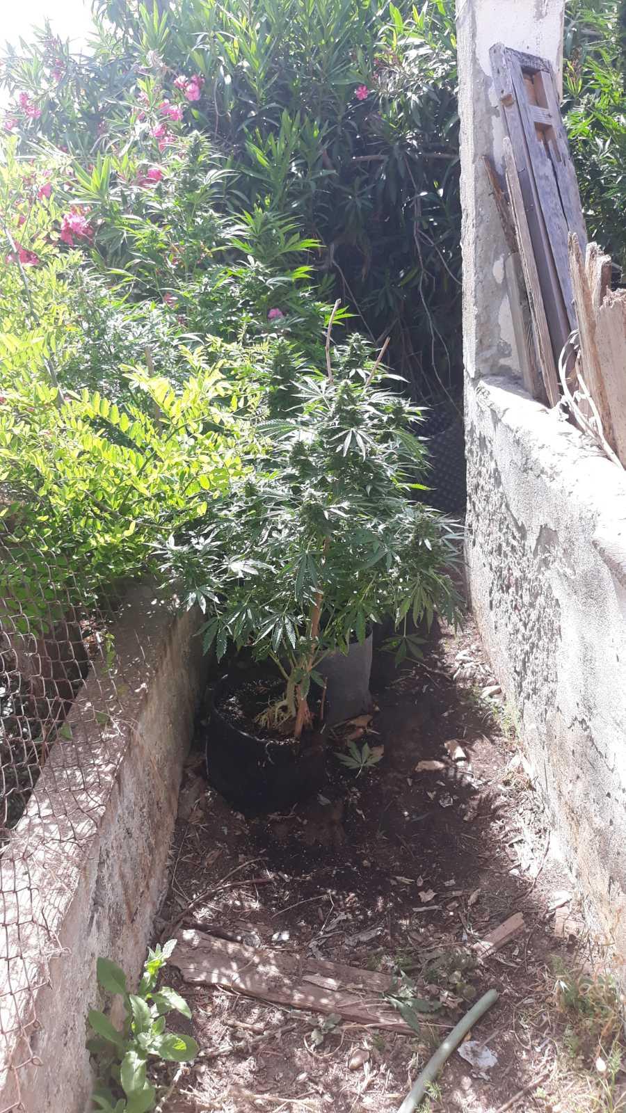 Κατάκολο: Συνελήφθη ξανά άτομο για υδροπονική καλλιέργεια κάνναβης σε οικία- Κατασχέθηκαν 40 δενδρύλλια και 15 φυντάνια κάνναβης και 21 γραμμάρια της ουσίας (photos)