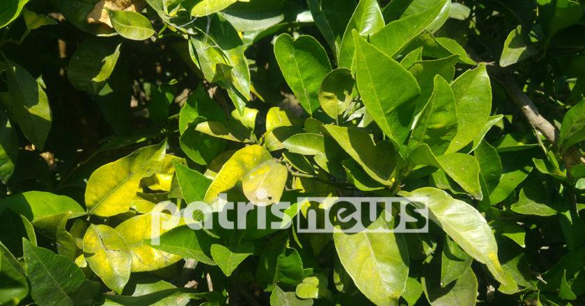 φυλλα πορτοκαλιας με ζημιες