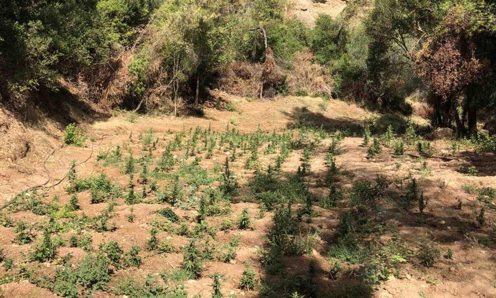 Αιγιαλεία: Εντοπίστηκε οργανωμένη φυτεία δενδρυλλίων κάνναβης (pics)